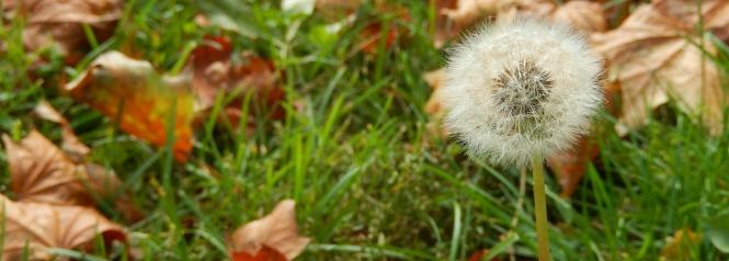 In dieser Woche lasse ich mich vom Wind treiben wie die Samen eines Löwenzahns.